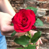Red rose 60-70 cm photo